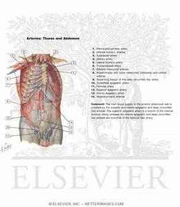 Arteries Of Anterior Abdominal Wall Blood Supply Of The
