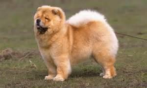 Chow Dog Breed