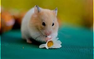 Cute Hamster 510466 - WallDevil