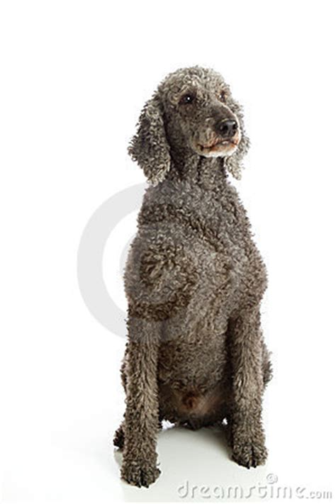 standard poodle grey royalty  stock photography