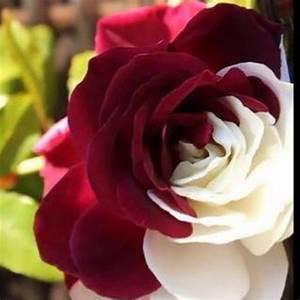 dual color roses xcitefun net