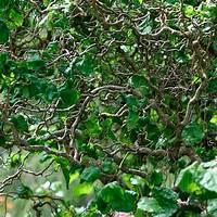 walking stick plant Harry Lauder's walking stick - FineGardening