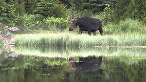 The Wolves and Moose of Isle Royale - YouTube