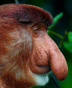 Pictures of Monkeys With Big Noses on Animal Picture Society