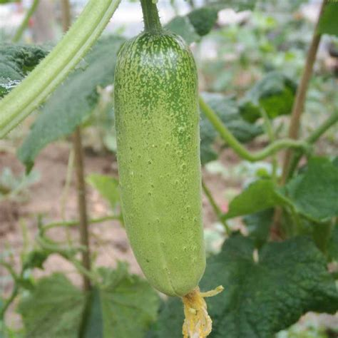 Cucumber Seeds by 100x Japanese Small Cucumber Seeds Vegetable Plant Seeds