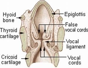 Epiglottis Anatomy