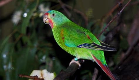 swift parrot biodiversity   western volcanic plains