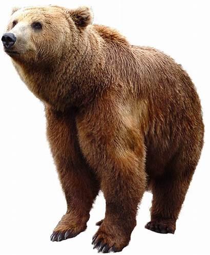 Bear Background Transparent Animal Brown Pngimg Bears