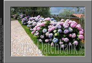 Bodendecker Blau Blühend Winterhart : bild hortensie bauernhortensie hydrangea macrophylla ~ Michelbontemps.com Haus und Dekorationen