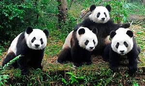 Animal En G : im genes de osos panda fotos hd ~ Melissatoandfro.com Idées de Décoration
