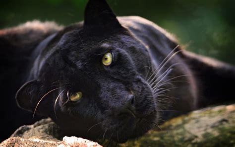 black panther animal wallpaper