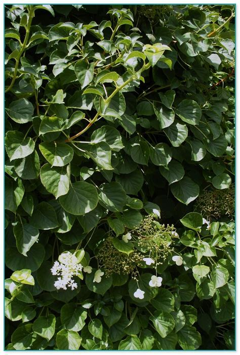 Climbing Flowering Plants That Like Shade 3