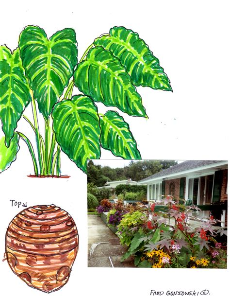 how to grow elephant ears container planted or in the ground elephant ear plants are a focal point fred gonsowski