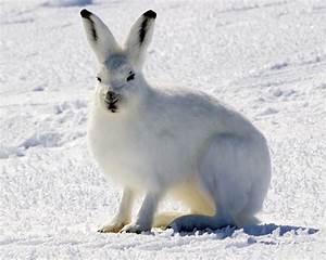 Arctic hare - Wikipedia