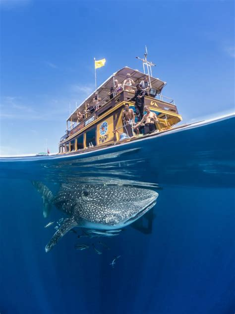 » Stunning photo of whale shark swimming below boat of ...