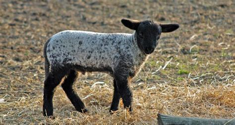 interesting facts about sheep 805 | lamb