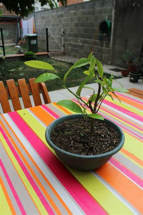 quand planter un citronnier en pot planter un citronnier en pot comment et quand