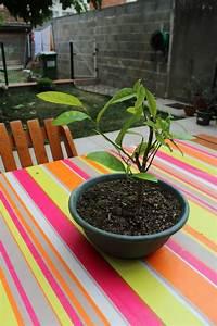Planter Un Citronnier : planter des graines et des p pins page 93 au jardin ~ Melissatoandfro.com Idées de Décoration