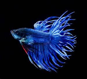 Blue Crown Tail Betta | Fighting Betta Fish | Pinterest ...