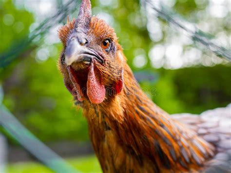 angry chicken stock photo image  farm fowl close
