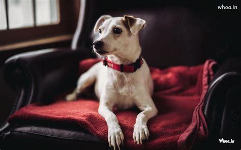 white dog sitting  black sofa hd desktop wallpaper