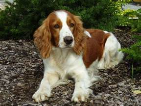 springer spaniel breed guide learn about the springer spaniel