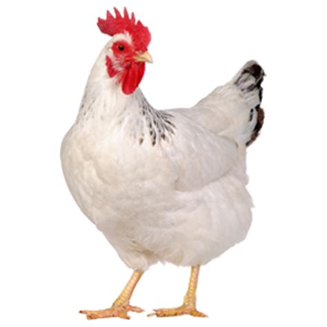 Fresh Chicken Png
