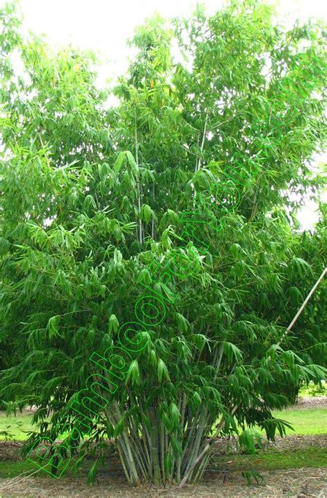 Dendrocalamus minor Amoenus, Bamboo Photos, Bamboo For You