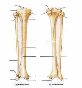 Blank Tibia And Fibula Diagram