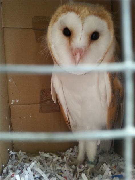 Barn Owl Breeders by Baby Barn Owl For Sale Nottingham Nottinghamshire