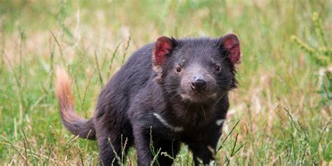 Tasmanian devils born on australian mainland for first time in 3,000 years. Tasmanian Devils evolving in response to deadly facial tumours