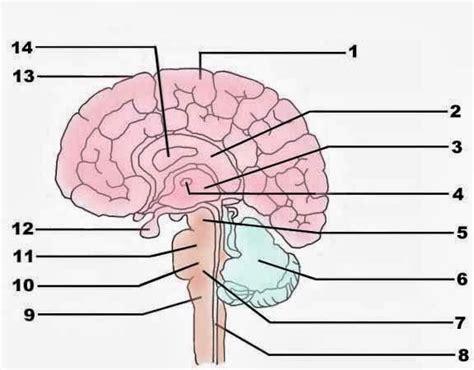 Label Brain Diagram by Blank Brain Diagram Psychology Brain Diagram Brain