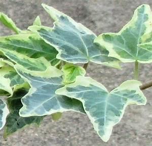Kübelpflanzen Winterhart Schattig : hedera helix 39 mini ester 39 efeu pflanzen versand f r die ~ Michelbontemps.com Haus und Dekorationen