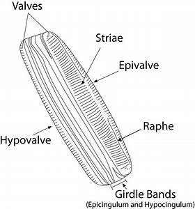 Labelled Diagram Of A Diatom