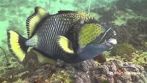 Aggressive Triggerfish Attack - YouTube
