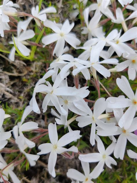 Phlox subulata 'Maischnee' (Aslapu floksis), konteiners P9 ...