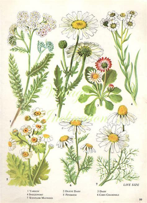 how to make botanical prints vintage botanical print antique daisy plant print botanical
