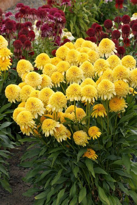 Coneflower, CARA MIA™ Yellow (Echinacea) - TheTreeFarm.com