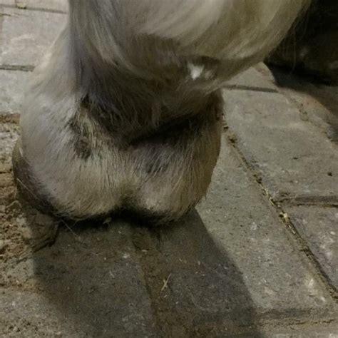 mauke bei pferden entzuendung  der fesselbeuge equinode
