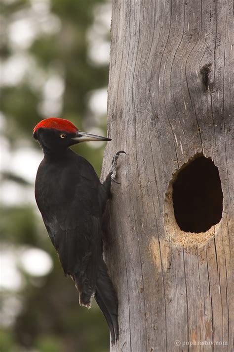 boris pophristov photography wildlife black woodpecker