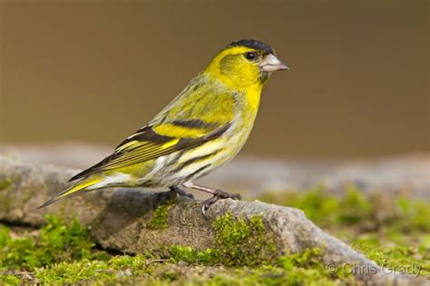 siskin finch finches and canaries pinterest