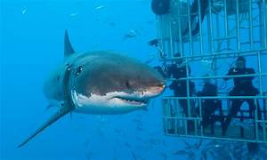 What it's like to cage dive with a great white shark ...