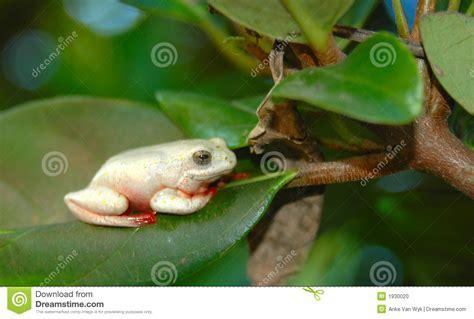 grenouille africaine dans l arbre photo stock image 1930020