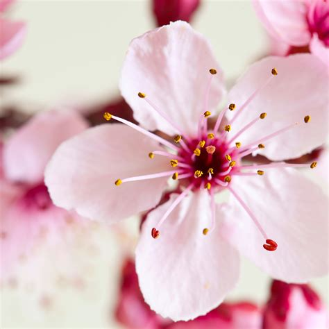 Cherry Blossom Image by Crafters Choice Japanese Cherry Blossom Fo 695