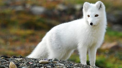 Wallpaper Nature Animals - nature animals fox arctic fox wallpapers hd desktop