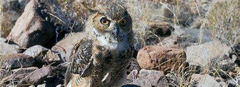 owls big bend national park  national park service