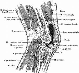 Sagittal Section Through Knee