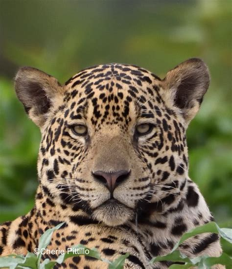 backyard birding in merida yucatan and beyond my jaguar journey part 3 of 3 the yucatan times