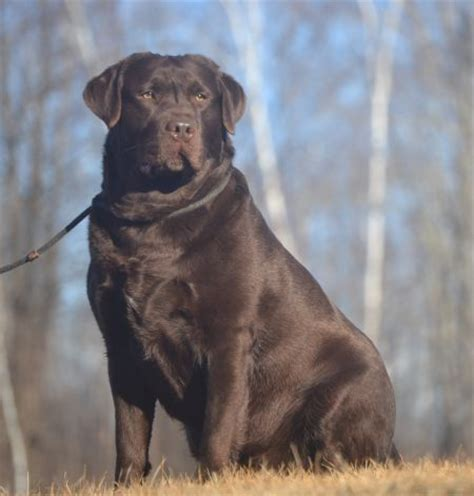 best ideas about labradors on 17 best ideas about chocolate labradors on