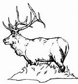 Elk Coloring Pages Bull Printable Animals Skull Mohawk Sheet Colornimbus sketch template
